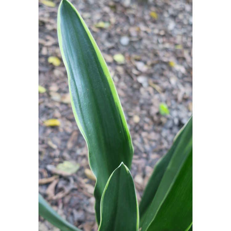 Rohdea japonica (white margin)