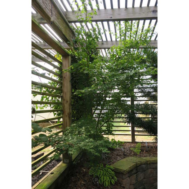 Acer palmatum 'Syuka'