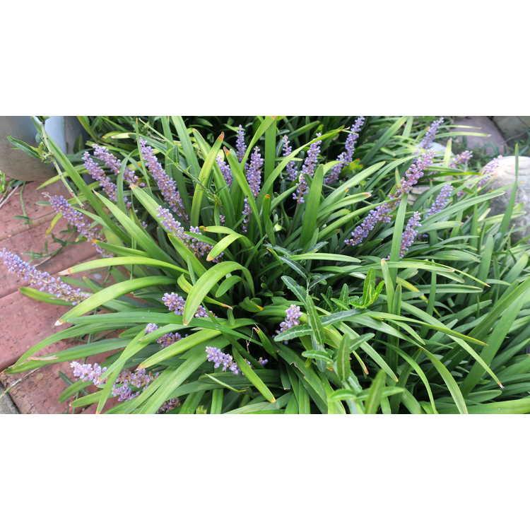 Liriope muscari 'Bigun' - Cleopatra clumping monkey-grass