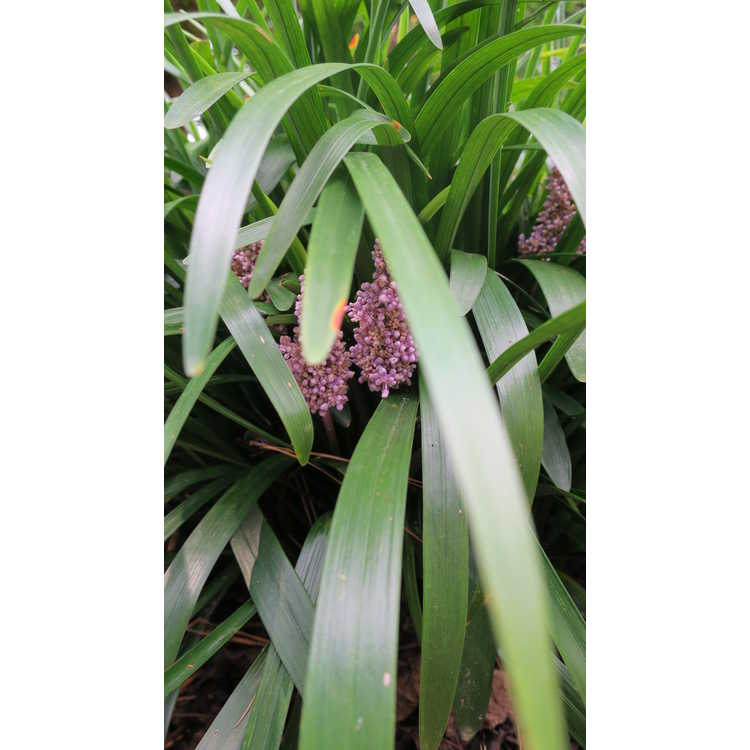 Liriope muscari 'Samona' - pink liriope