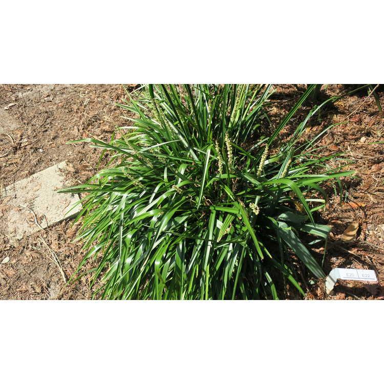 Liriope kansuensis - Gansu lily-turf