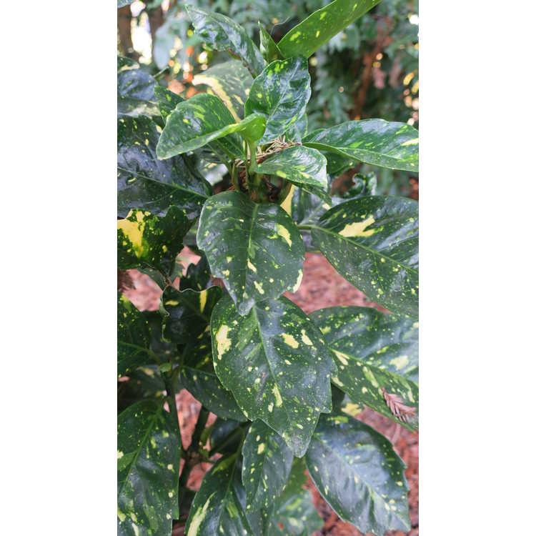 Aucuba japonica 'Peachie'