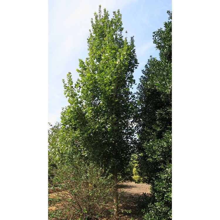 Acer saccharum 'Reba'