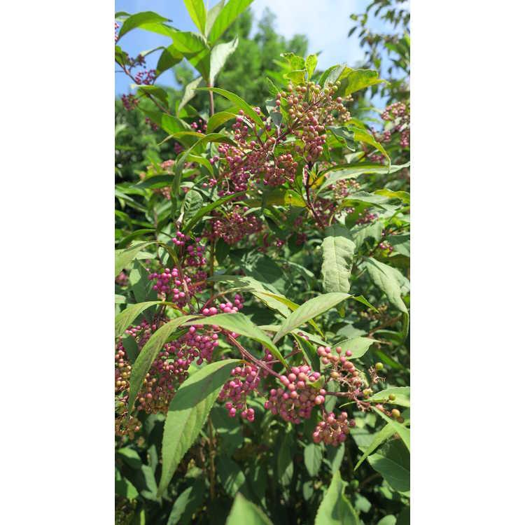 Callicarpa 'Purple Pearls' - beautyberry