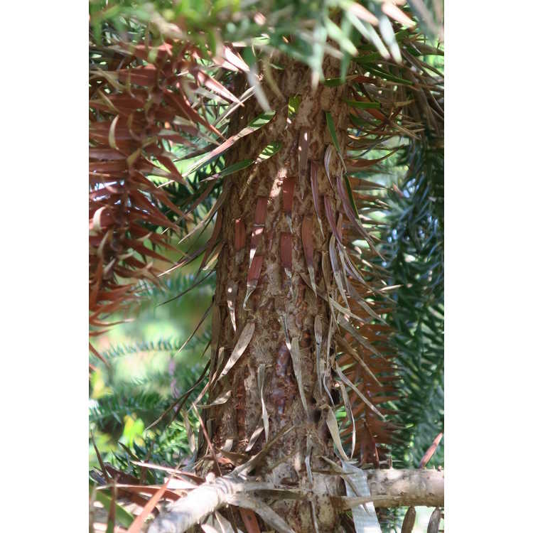 Araucaria araucana × A. angustifolia