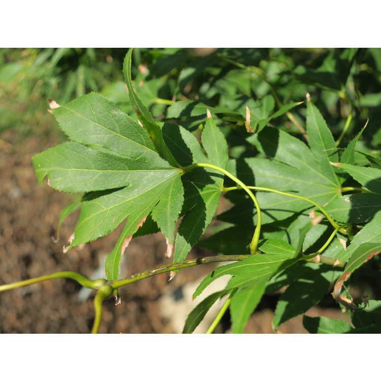 Acer palmatum 'Koto ito komachi'