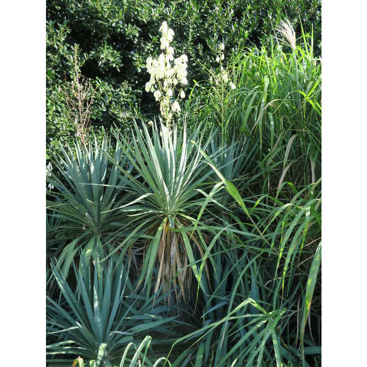 Yucca recurvifolia - curve-leaf yucca