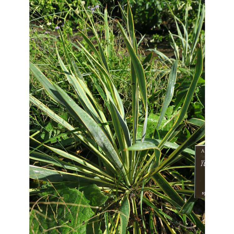 Yucca filamentosa subsp. smalliana 'Bright Edge' - gold-edge narrowleaf yucca