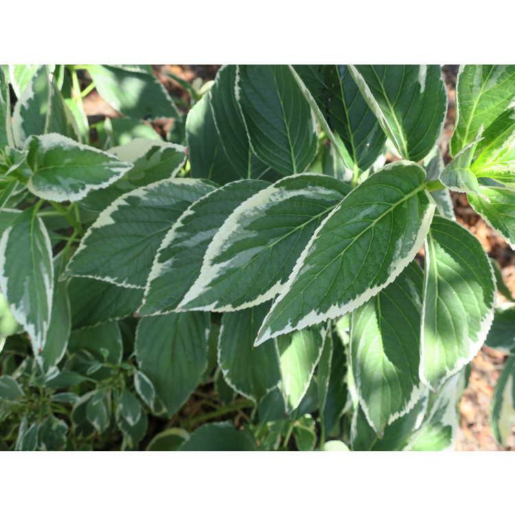 Hydrangea macrophylla ('Mariesii Variegata' new sport)