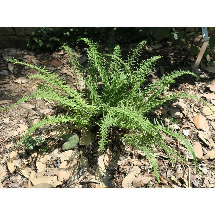 Athyrium filix-femina 'Cruciato-cristatum'