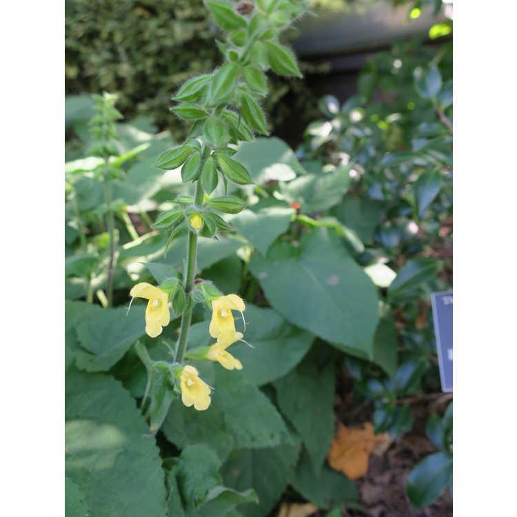 Salvia nipponica - Japanese woodland sage