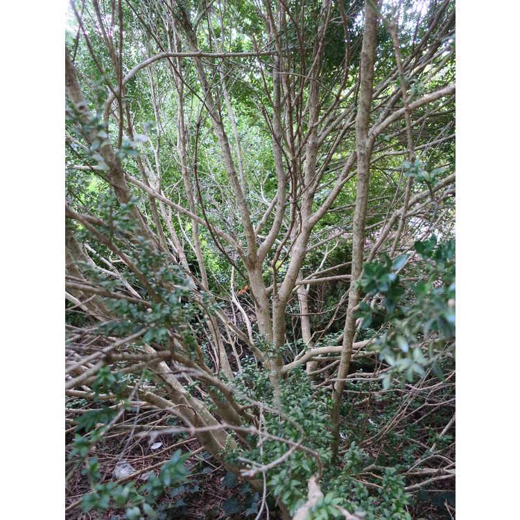 Buxus sempervirens 'Kingsville'
