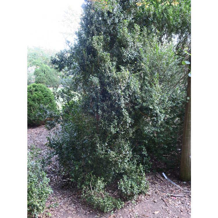 Buxus sempervirens 'Dee Runk'