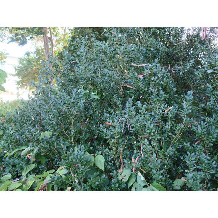 Buxus sempervirens 'Myrtifolia'