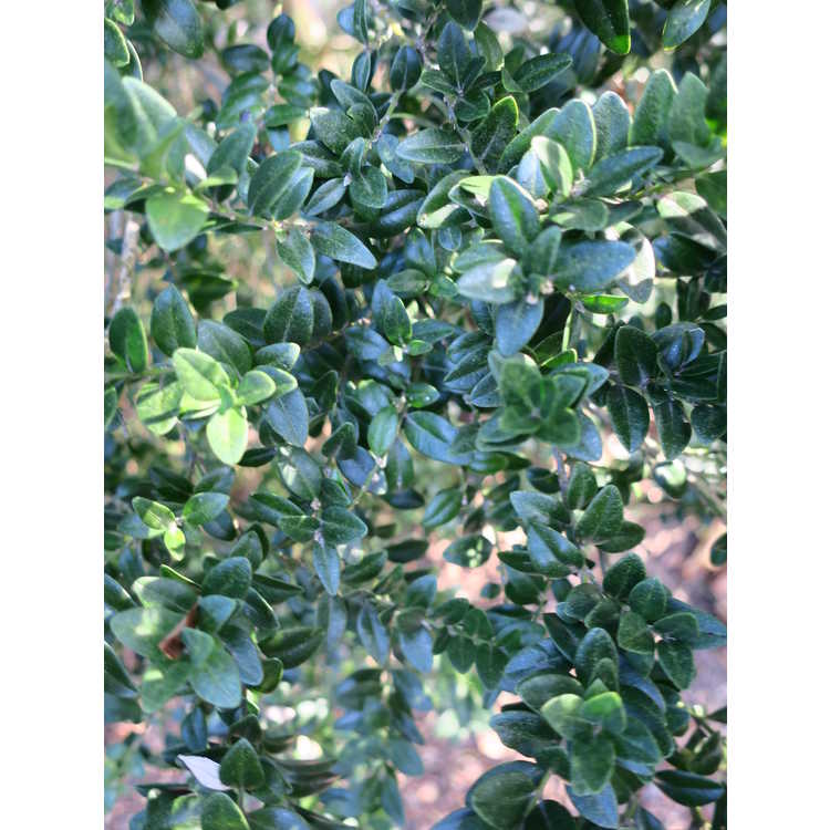 Buxus sempervirens 'Welleri'