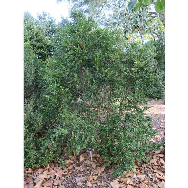 Buxus sempervirens 'Pendula' - weeping common boxwood