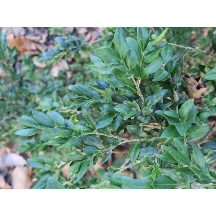 Buxus sempervirens 'Pendula'