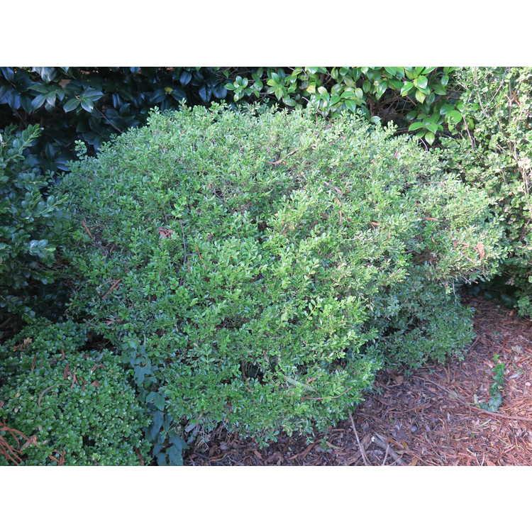 Buxus sinica var. insularis