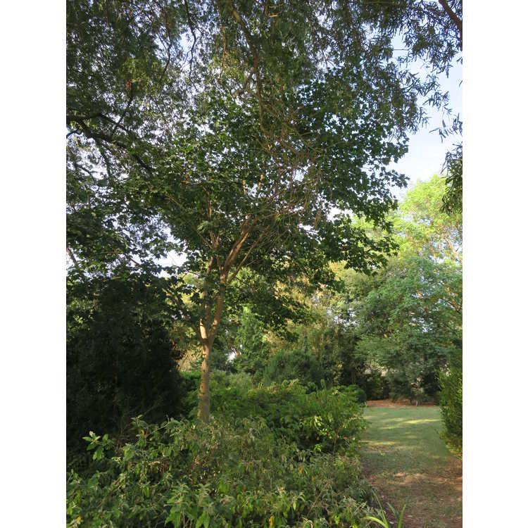 Acer cappadocicum subsp. cappadocicum