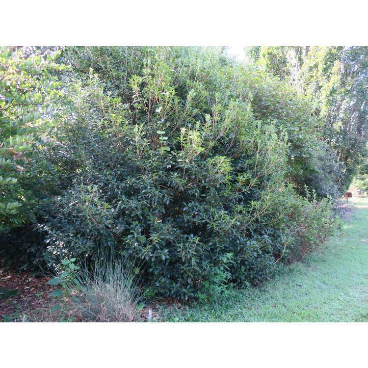 Osmanthus ×fortunei 'Fruitlandii'