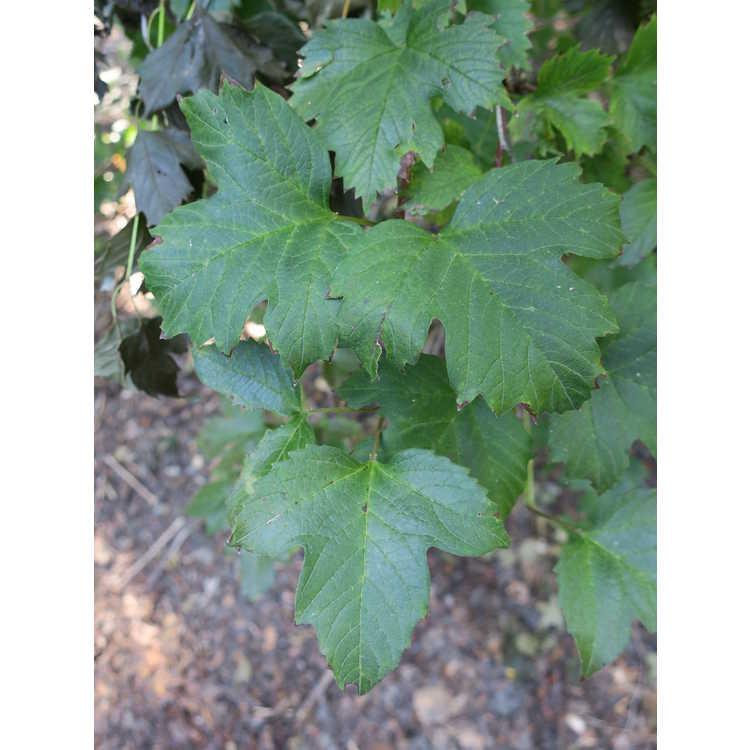 Viburnum sargentii - Sargent viburnum