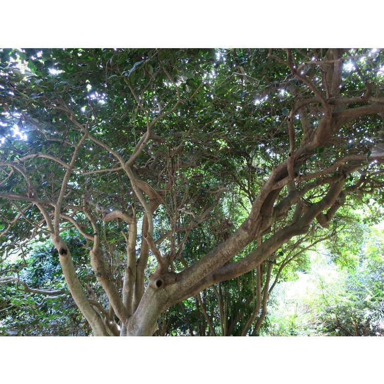 Ilex opaca 'Clarendon Spreading' - compact American holly