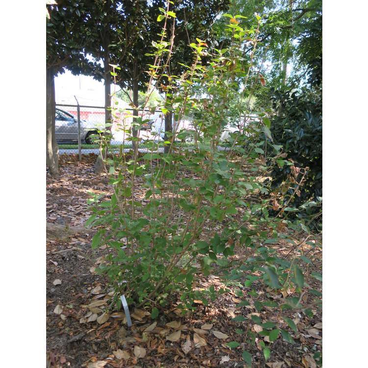Viburnum corylifolium - hazel-leaf viburnum