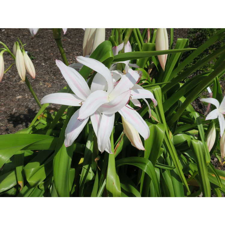 Crinum ×digweedii - hybrid crinum-lily