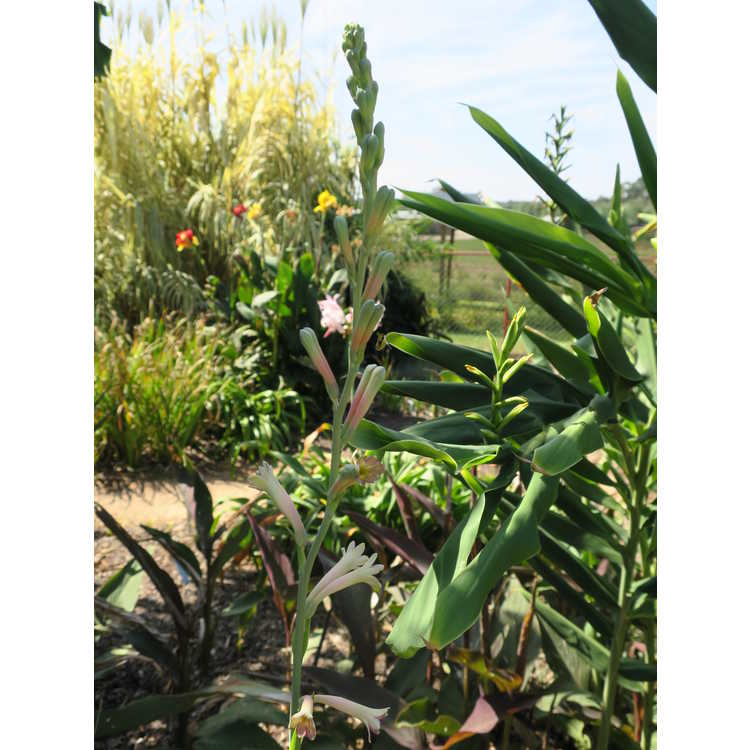 Polianthes 'Chirp'