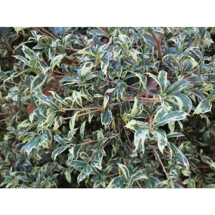 Osmanthus heterophyllus 'Kembu' - variegated holly tea-olive