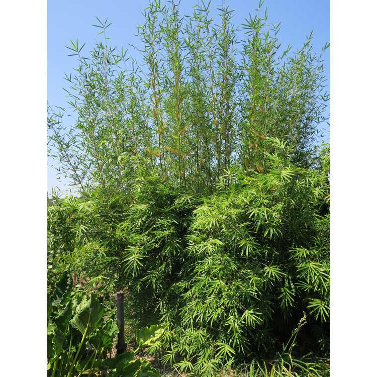 Bambusa multiplex 'Green Giant' - hedge bamboo