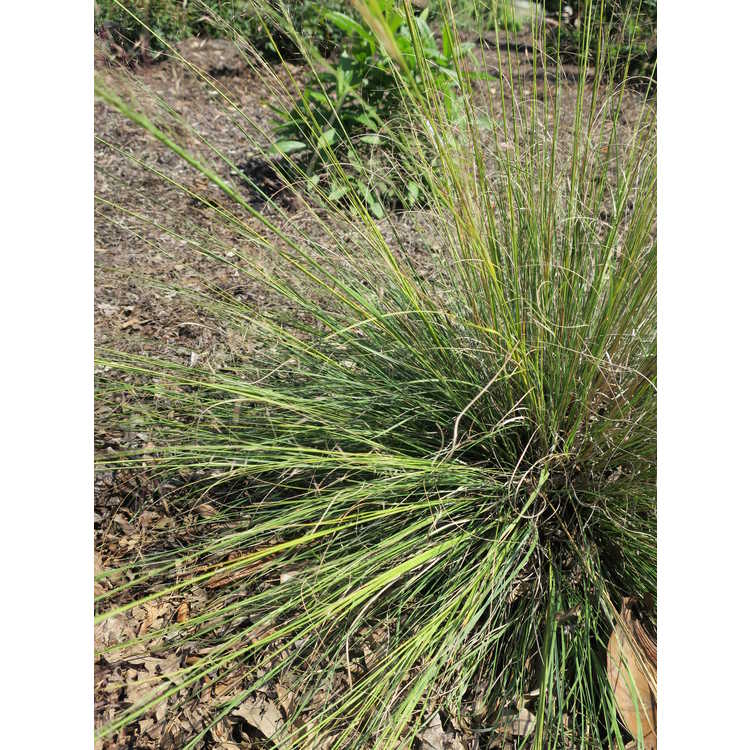 Muhlenbergia reverchonii 'Pund01s' - Undaunted ruby muhly grass