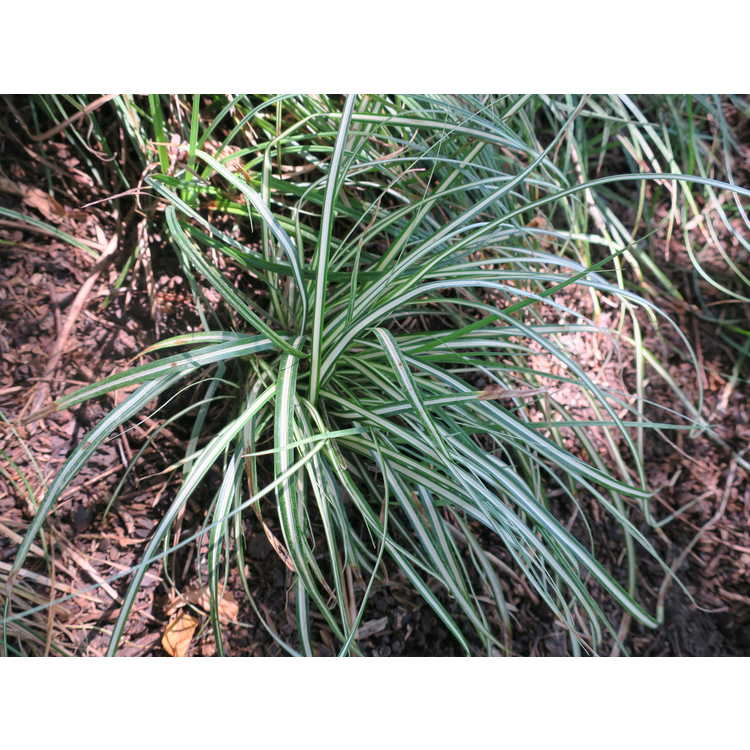 Carex oshimensis 'Carfit01' - Evercolor Everest white variegated Japanese sedge