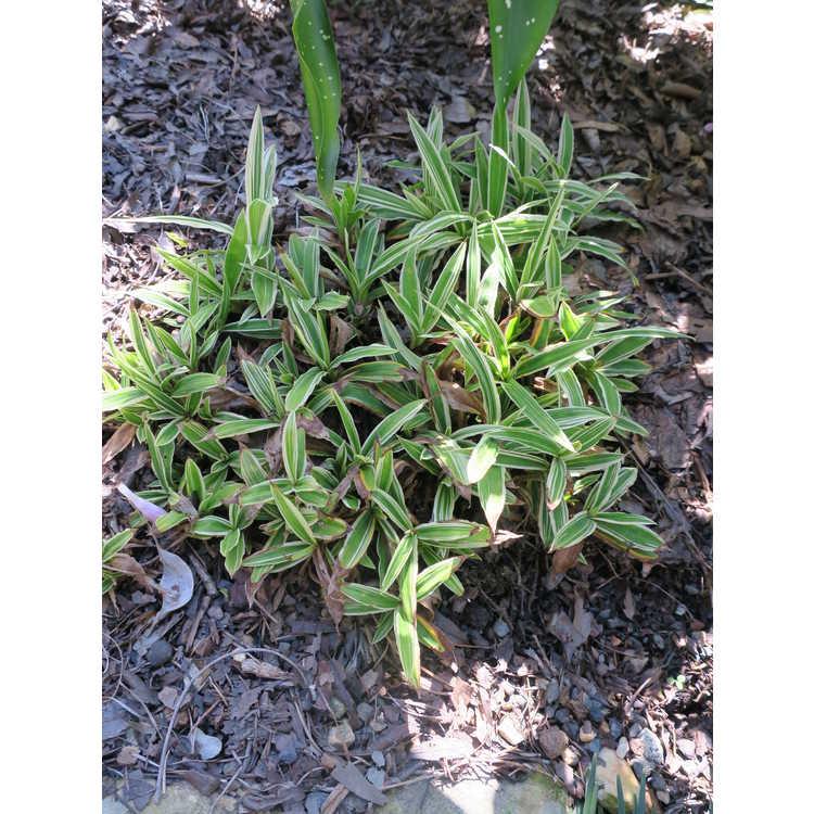 Carex ciliatomarginata 'Treasure Island'