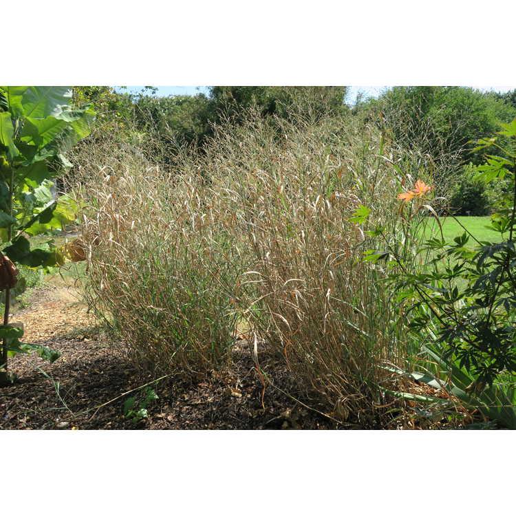 Panicum virgatum 'Heavy Metal' - common switch grass
