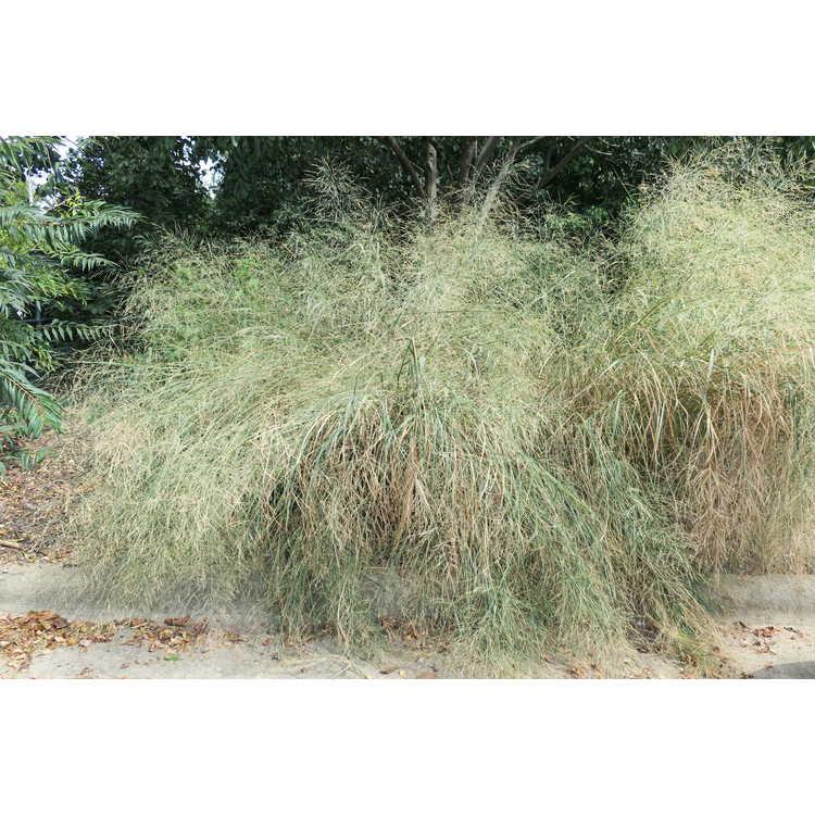 Panicum virgatum 'Cloud Nine' - common switch grass