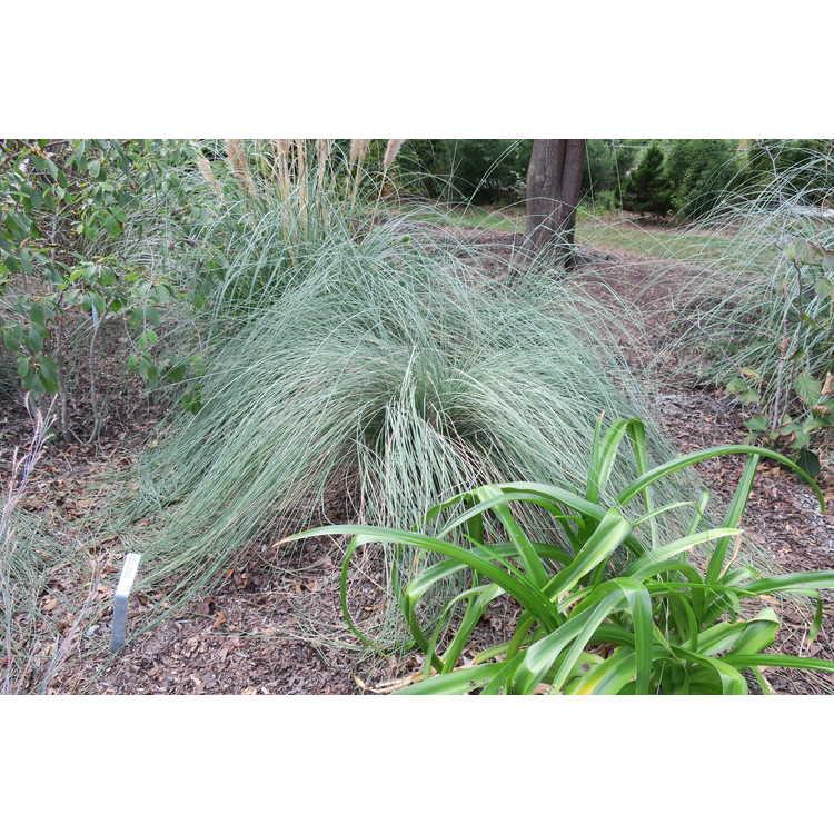 Muhlenbergia lindheimeri - big muhly