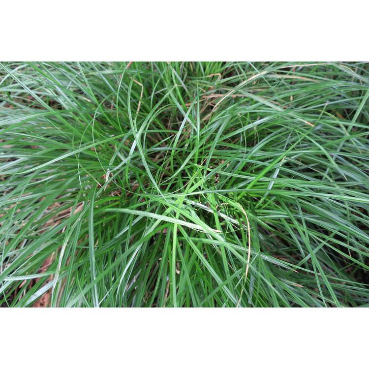 Carex divulsa