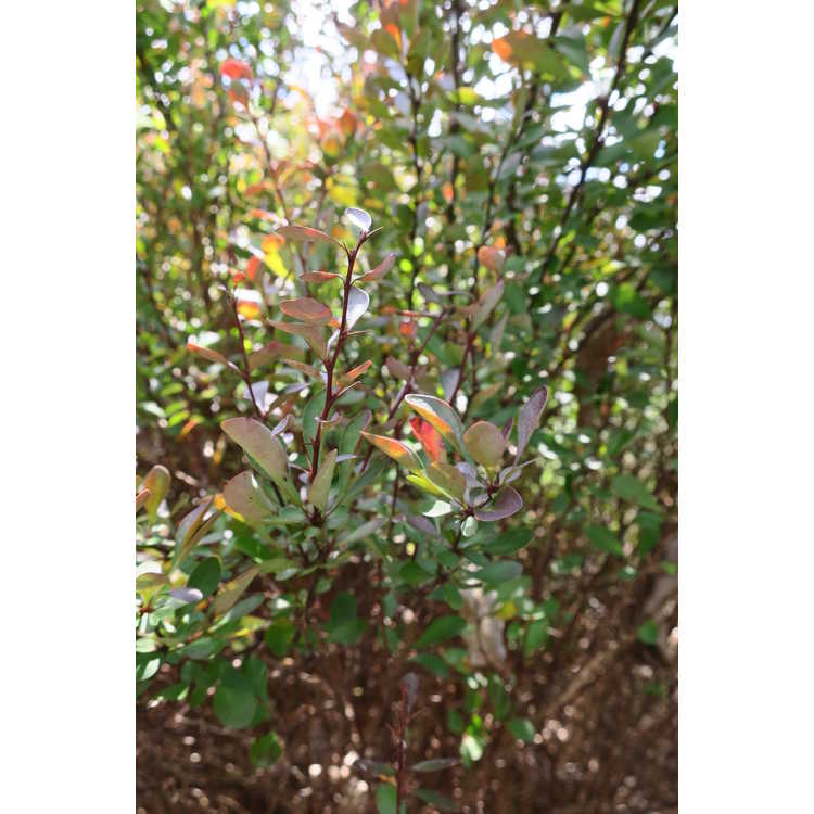 Berberis thunbergii var. atropurpurea 'Red Rocket' - upright purple-leaf Japanese barberry