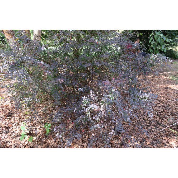 Berberis thunbergii var. atropurpurea 'Bailone'