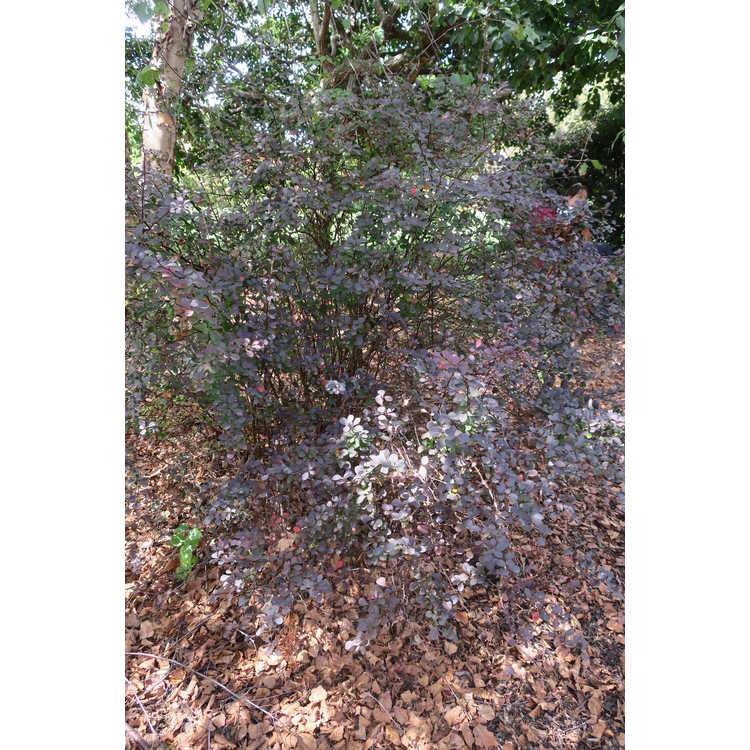 Berberis thunbergii var. atropurpurea 'Bailone' - Ruby Carousel purple-leaf Japanese barberry