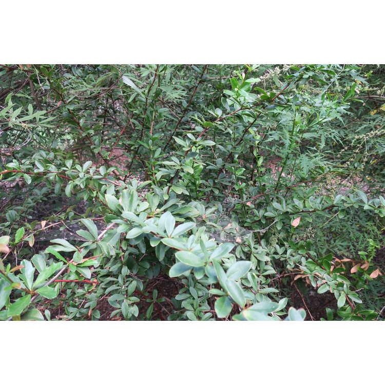 Berberis lycium