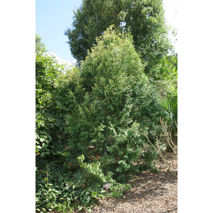 Thuja occidentalis 'Columbia' - white-tip American arborvitae