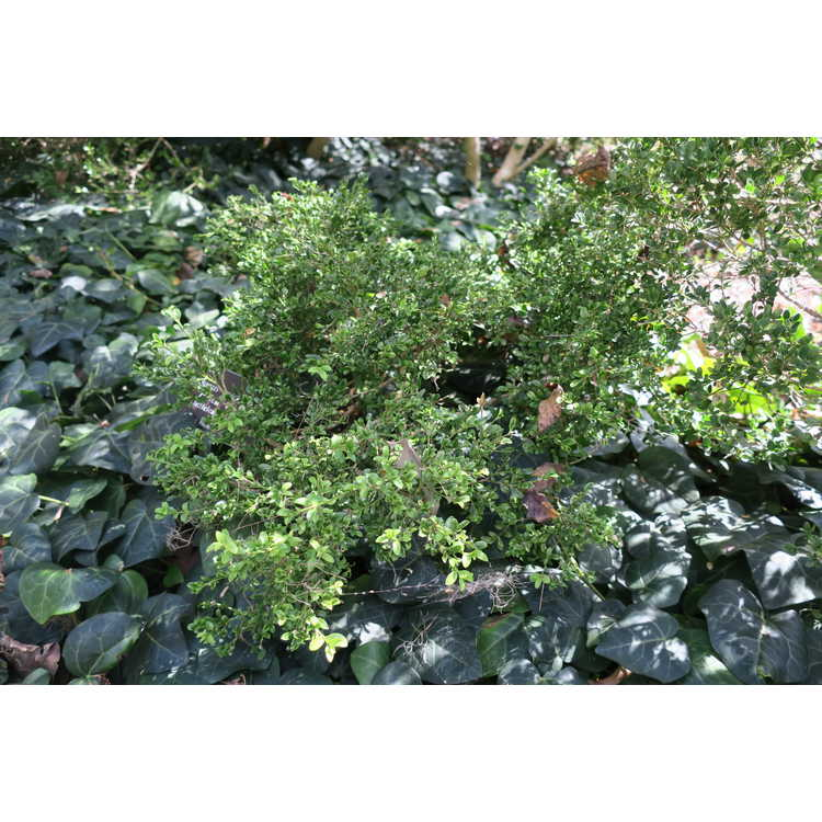 Buxus microphylla 'Helen Whiting'