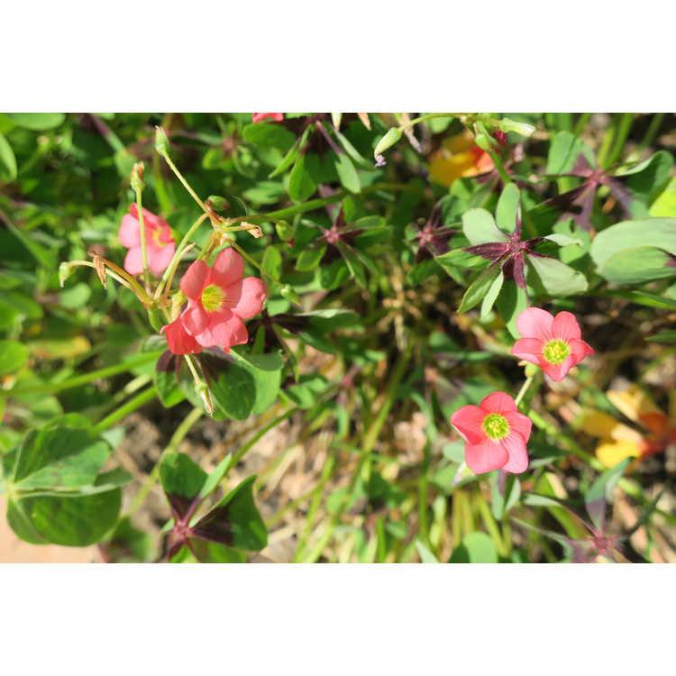 Oxalis tetraphylla Iron Cross