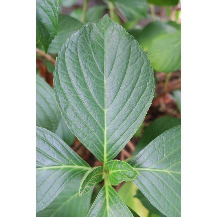 Hydrangea macrophylla 'Big Daddy' - bigleaf hydrangea