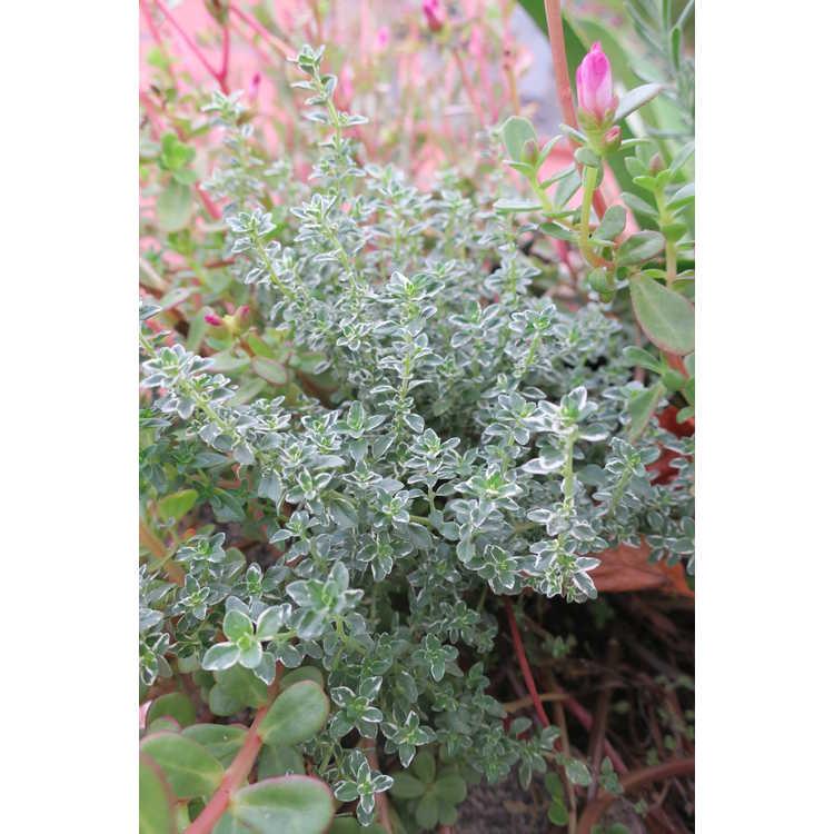 Thymus ×citriodorus 'Argenteus' - silver lemon thyme