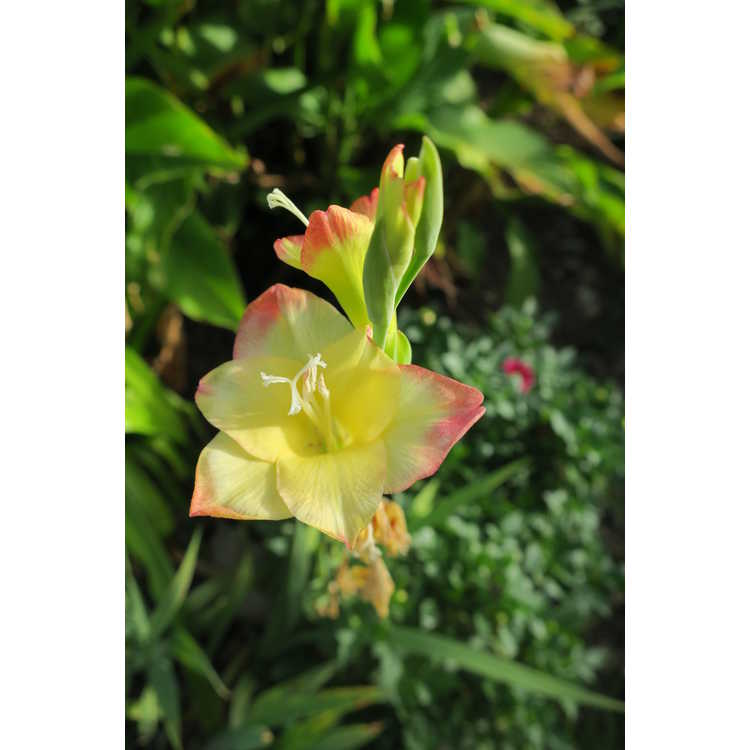 Gladiolus 'Las Vegas'