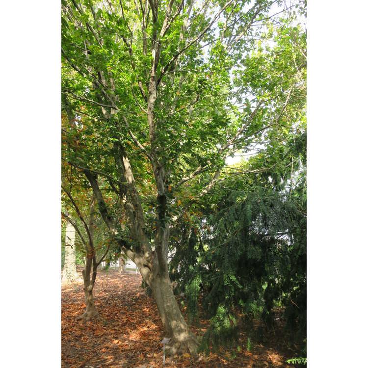 Carpinus betulus 'Pinoccheo'