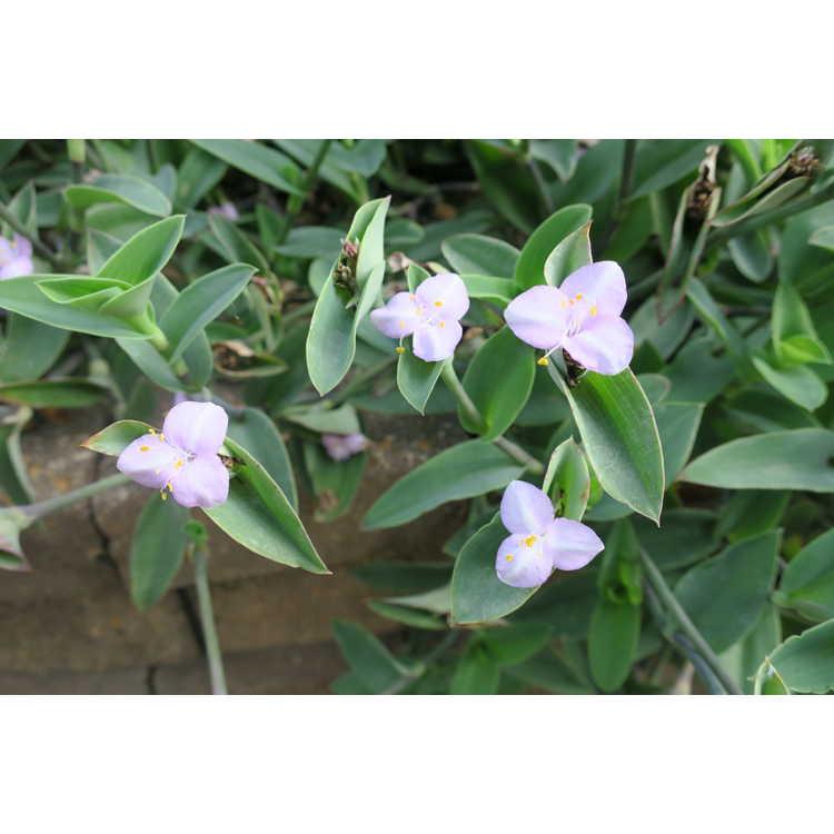 Tradescantia pallida 'Blue Sue' - Purple Heart